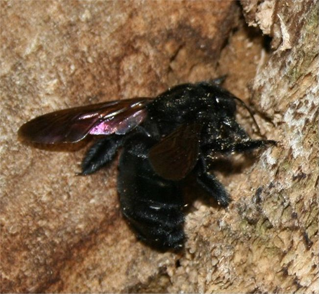 File:Carpenter bee at work.jpg