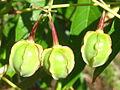 Cassava fruits (4760312398).jpg