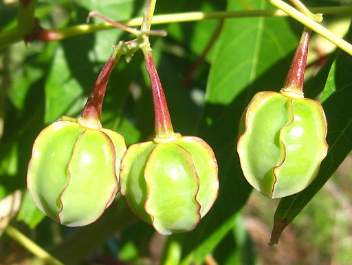 Cassava fruits (4760312398)