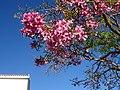 Cassia javanica, Torremolinos.jpg
