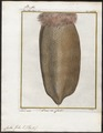Castor fiber - staart - 1700-1880 - Print - Iconographia Zoologica - Special Collections University of Amsterdam - UBA01 IZ20400217.tif