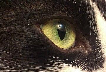 https://upload.wikimedia.org/wikipedia/commons/thumb/1/10/Cat%27s_eye_in_middle_light.jpg/360px-Cat%27s_eye_in_middle_light.jpg