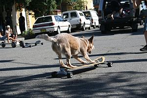 Skateboarding dog - Image: Cattle dog skating