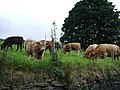 Cattle off Stocks Lane, Luddenden - geograph.org.uk - 987138.jpg
