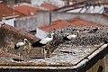 Cegonha Branca ( Ciconia ciconia ) 13 (48309061686).jpg