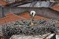 Cegonha Branca ( Ciconia ciconia ) 18 (48309337287).jpg