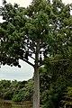 Ceiba (Ceiba pentandra) (14573631883).jpg