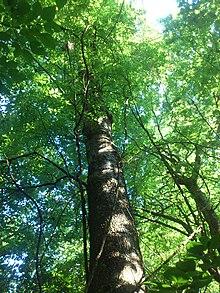 Celtis Laevigata Wikipedia