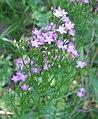 Centaurium erythraea bgiu.jpg