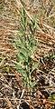 Centaurium spicatum habit.jpg