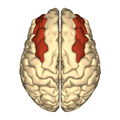 Cerebrum - middle frontal gyrus - superior view.png