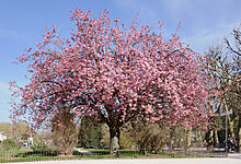 Japanese cherry Prunus serrulata