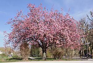 Prunus serrulata - Japanese cherry Prunus serrulata