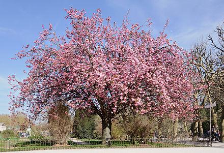 Prunus Serrulata Wikiwand
