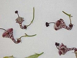 Ceropegia haygarthii Schltr. (AM AK289460-3).jpg