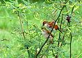 Certhiaxis cinnamomea (Rastrojero barbiamarillo) (14239818414).jpg