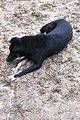 Chó đen (chó mực) ở Cát Sơn (7).jpg