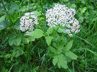 Chaerophyllum hirsutum01