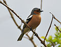 Chaffinch at Talland Bay.jpg