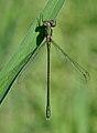 Chalcolestes viridis qtl2.jpg