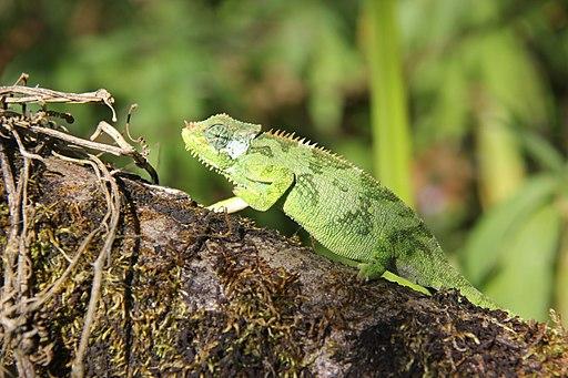 Chameleon (16139192778)