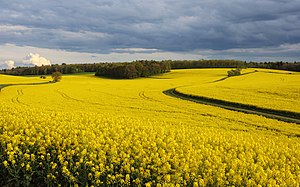 Landscape photography - Farm landscape, in this case a rapeseed field in France.