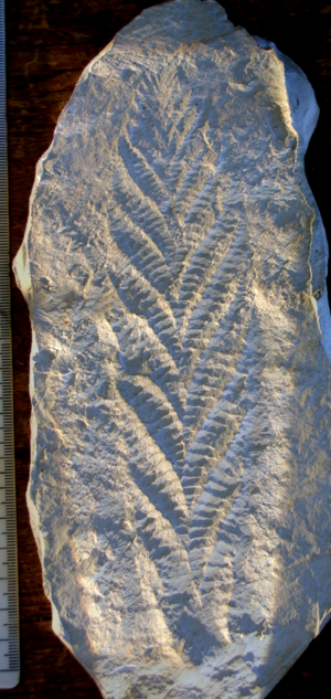 Charnia - A cast of the holotype of Charnia masoni. Metric scale.