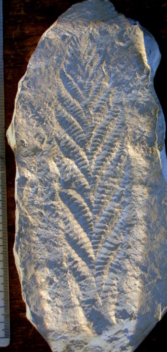 Charnia - A cast of the holotype of Charnia masoni. Metric scale.