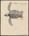 Chelonia imbricata - 1700-1880 - Print - Iconographia Zoologica - Special Collections University of Amsterdam - UBA01 IZ11600199.tif