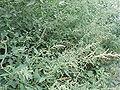 ChenopodiumAlbum2.jpg