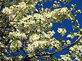 Cherry blossom (Cerasus) 14.JPG