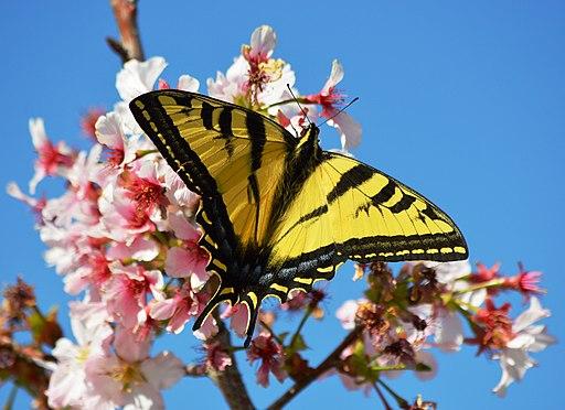 Cherry blossoms Lake Balboa (20140330-0239)