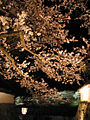 Cherry blossoms at Isuzugawa-Tsutsumi03.jpg