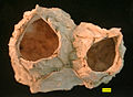 Chesaconcavus top view.jpg