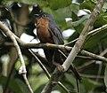 Chestnut-breasted cuckoo iron08.JPG