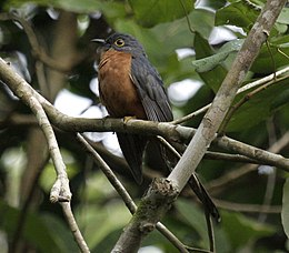 Chestnut-breasted cuckoo iron08