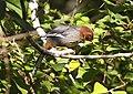 Chestnut-hooded Laughingthrush (Garrulax treacheri) 1.jpg