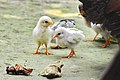 Chicks being Led by Hen to Food, Barashalghar, Debidwar, Comilla, 18 Feb 2016.jpg