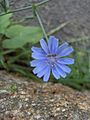 Chicory with fly (2985429502).jpg