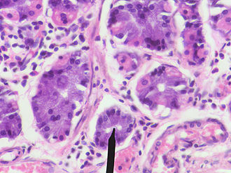 Gastric chief cell - Human chief cells near tip of black pointer
