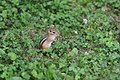 Chipmunk at Cornell University (4731274469).jpg