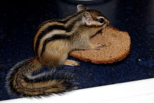 Chipmunk bread.jpg