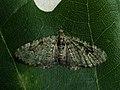 Chloroclystis v-ata - V-pug - Пяденица чистецовая (41980510020).jpg