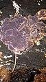 Chondrostereum purpureum 62177196.jpg