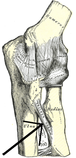Scapholunate ligament - WikiVisually