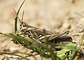 Chorthippus brunneus LC0178.jpg