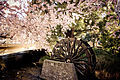 Christchurch cherry blossoms and water wheel.jpg