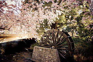 Christchurch - Cherry blossom trees in Spring bloom and a historic water wheel, located on a small island in the Avon River at the corner of Oxford Terrace and Hereford Street, Hagley Park in the city centre.
