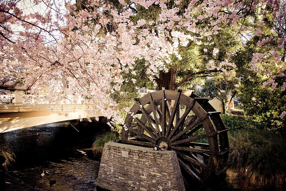 Christchurch cherry blossoms and water wheel