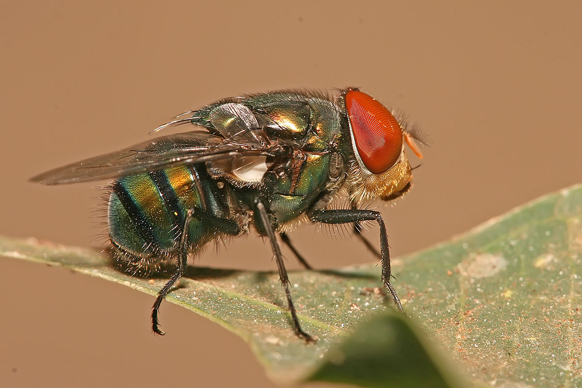 Green flies asexual reproduction in bacteria